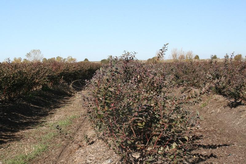 Organic Blueberry Fields in Stockton