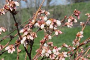 Organic Blueberry Bushes in Stockton, CA