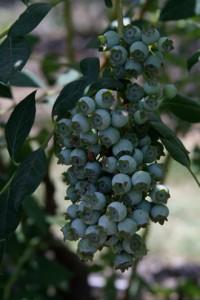 Bushel of Blueberries at Delta Blue Blueberries