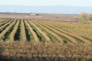 Organic Blueberry Farming in Stockton, CA